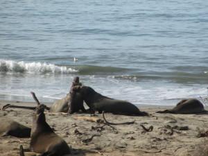 Elephant Seals 2013
